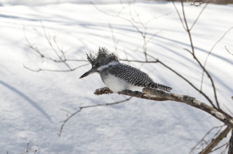 Yezo Crested Kingfisher