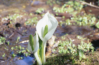 White Skunk Cabbage